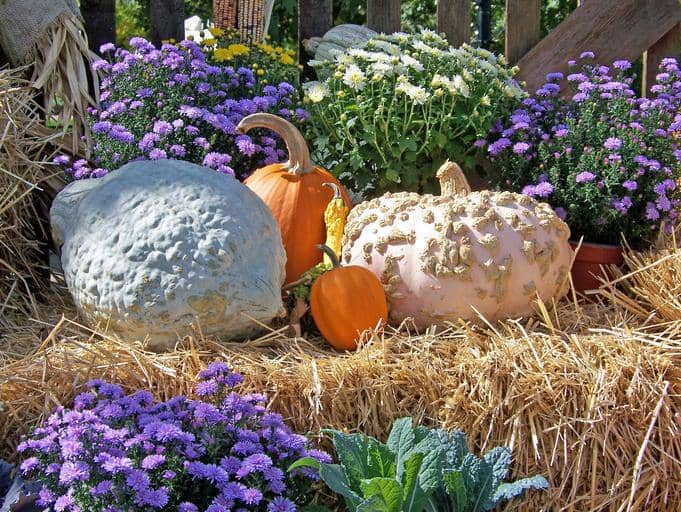 best-fall-autumn-flowers-to-grow-in-containers