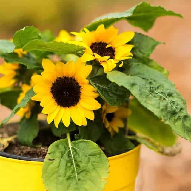 How to grow sunflowers in a pot
