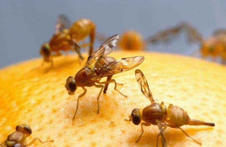 How to get rid of fruit flies in house plants.