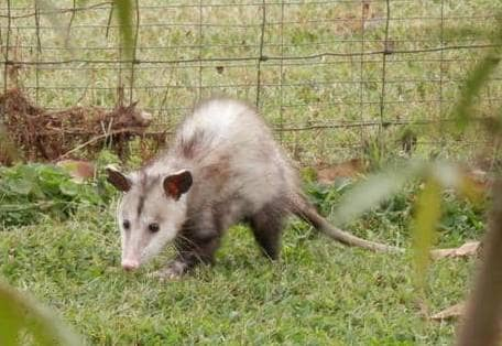 How to get rid of Possums in your yard.